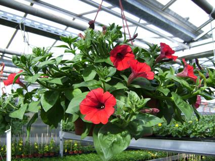 Beet Und Balkonpflanzen Blumen Grunert